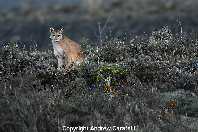 The last rays of the sun illuminate a Puma in Torres Del Paine, Patagonia, Chile as he searches for prey in the valley below.