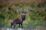 10-10-2012: Showing the scars of battle a red deer stag  is covered in mud and grit after locking antlers with another male during the rutting (mating) season  in the Killarney Demesne on Wednesday..Picture by Don MacMonagle