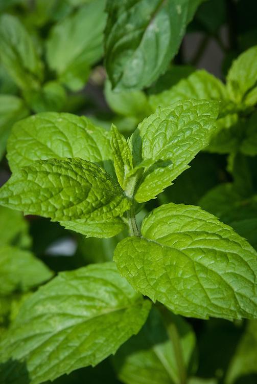 Garden mint (Mentha sachalinensis), early June.