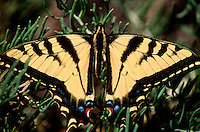 MOTHS AND BUTTERFLIES<br /> Tiger Swallow-Tail Butterfly<br /> (Papilio)