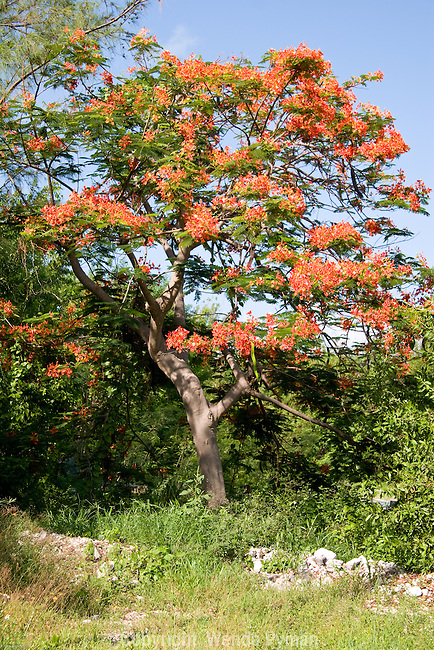 The Flamoyant, or Royal Poinciana is considered one of the top five most beautiful flowering trees.