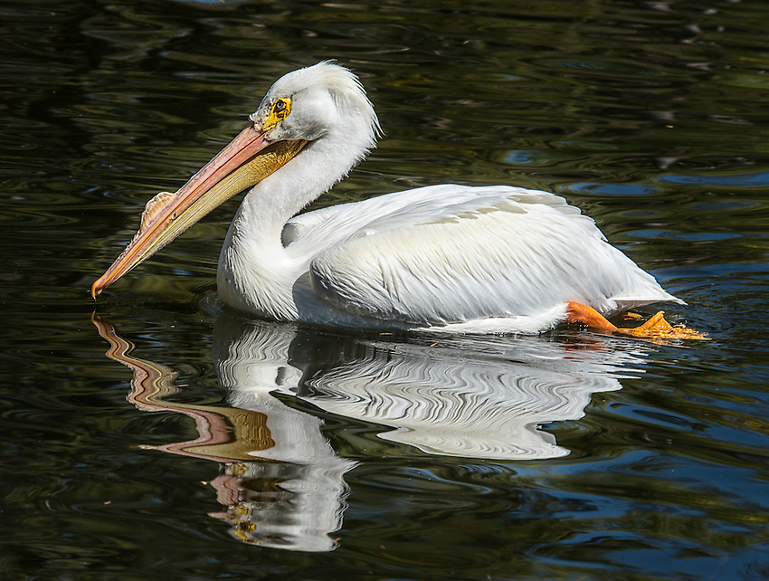 The American White Pelican (Pelecanus erythrorhynchos) is native to North America. Here photographed in the lagoon at the San Diego Safari Park.