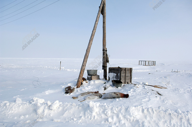 Recently hunted seals lay on the outskirts of the Artic village of Vankarem. Chukotka Autonomous Okrug, Russia, April 6, 2007.
