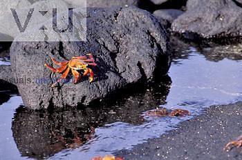 Sally Lightfoot Crab ,Grapsus grapsus, Punta Espinosa, Galapagos