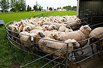 New Zealand, North Island, near Wellington, sheep at artisan sheep cheese operation Kingsmeade in Wairarapa. Photo copyright Lee Foster. Photo # newzealand125902