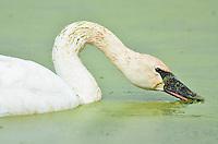 Trumpeter Swan (Cyngus buccinator) feeding on duckweed, Western U.S., Fall.  Duckweed is an important high-protein food source for waterfowl.