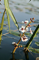 Gewöhnliches Pfeilkraut, Sagittaria sagittifolia, Common Arrowhead