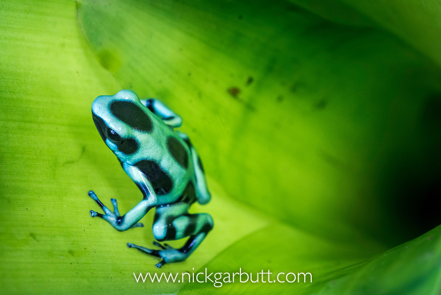 Green-and-Black Poison Dart Frog (Dendrobates aurantus) inside bromiliad where it breeds. Boca Tapada, Caribbean slope, Costa Rica, Central America.