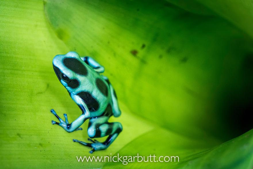 Green-and-Black Poison Dart Frog (Dendrobates aurantus) inside bromiliad where it breeds. Boca Tapada, Caribbean slope, Costa Rica, Central America.