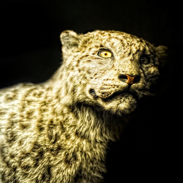 A taxidermy snow leopard.
