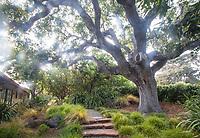 Front garden garden under native Oak tree Quercus lobata; Moore Garden Los Altos, California; Ground Studio Landscape Architecture
