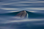 I try to pre-visualize images but sometimes an unimagined opportunity arises. A fin whale surfaced in the placid waters of the Sea of Cortez, creating these pleasing curves and surfaces. The fin whale is a baleen, the second largest species after the blue whale, and the largest specimens grow to 88 feet.