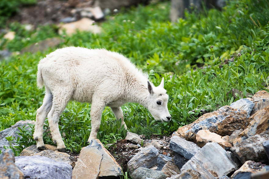 A kid mountain goat grazes near Going-to-the-Sun Road in Glacier National Park.