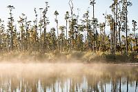 Kahikatea grove at Lake Wahapo at sunrise, Westland Tai Poutini National Park, UNESCO World Heritage Area, West Coast, New Zealand, NZ