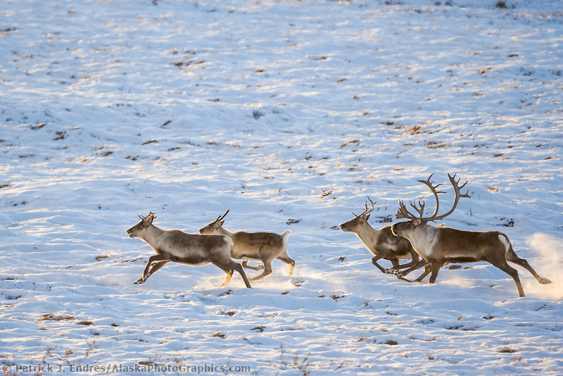 Barren ground caribou run along the Arctic Coastal Plains, Arctic Alaska.
