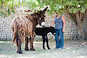 """Rare Le Baudet """"rasta"""" dreadlocked donkeys. .Three day old donkey """"Belle"""" daughter of  Lorelei is learning to walk. She struggles to her feet encouraged by her mother and two handlers and this donkey sanctuary..One up she manages to prance around but almost immediately is tired out and has to be taken off for a sleep in her stable..Unfortunately the steps is too much for her and handler 20 year old Melanie has to carry the 88 pound baby - (five and a half stones.).Belle and her mother live at a donkey sanctuary in Charente, France...When she is fully grown she will eventually have much more hair like Lambada.....Picture by Gavin Rodgers/ Pixel8000. 07917221968"""