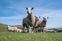 Bluefaced Leicester rams, Saddle End Farm, Chipping, Lancashire,