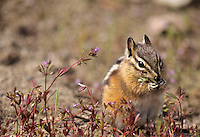 Golden-mantled Ground Squirrel, Jasper National Park, Alberta, Canada