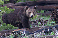 The Grizzly bear (Ursus arctos horribilis) has several relationships with its ecosystem. One such relationship is a mutualistic relationship with fleshy-fruit bearing plants. After the grizzly consumes the fruit, the seeds are dispersed and excreted in a germinable condition. Some studies have shown germination success is indeed increased as a result of seeds being deposited along with nutrients in feces. This makes grizzly bears important seed distributors in their habitats.<br />