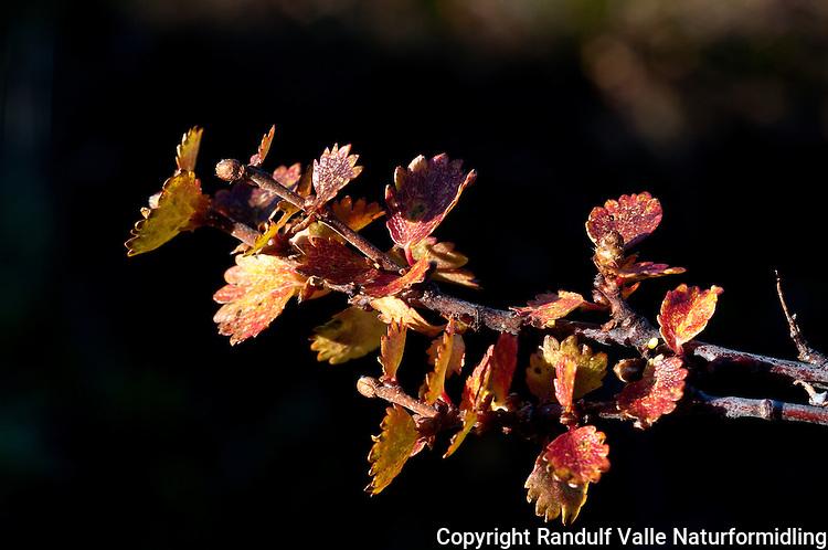 Dvergbjørk (Betula nana) ---- Dwaf birch (Betula nana)