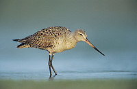 Hudsonian Godwit, Limosa haemastica, immature, Welder Wildlife Refuge, Sinton, Texas, USA, May 2005