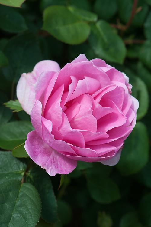 Rosa Skylark ('Ausimple'), mid May.