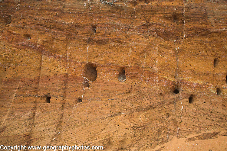 Sand martin nests and rabbit burrows. Red crag rock deposits with shells and cross bedding exposed at a quarry, Buckanay Pit, near Alderton, Suffolk, England