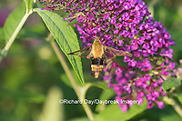 04005-00303 Snowberry Clearwing (Hemaris diffinis)  on Butterfly Bush (Buddleia davidii) Marion Co.  IL