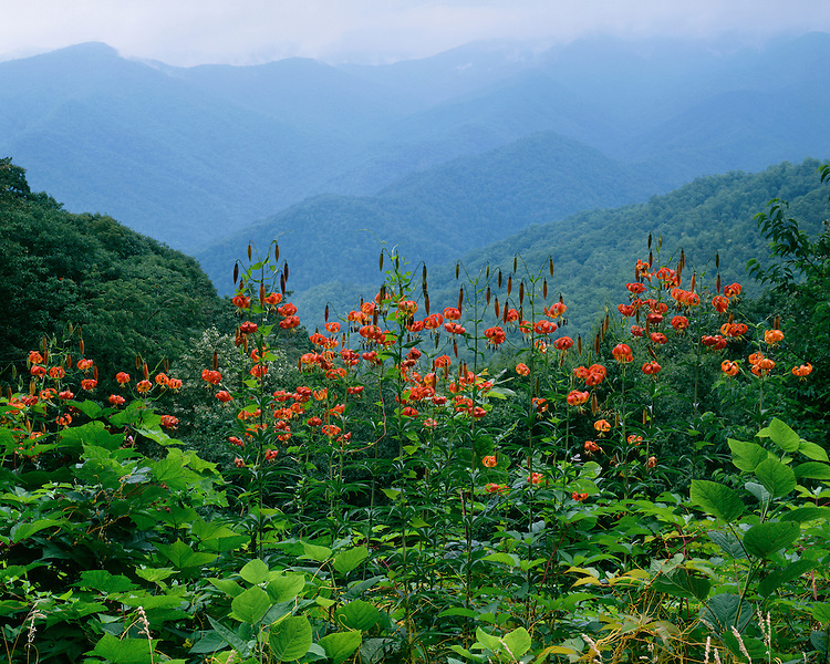 Turk's-Cap Lillies (Lilium superbum) in bloom on the Blue Ridge Parkway; Great Smoky Mountains National Park, TN