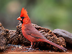 Northern Cardinal, Sedona, Arizona.  The range of these birds covers the eastern half of the USA and extends far into Mexico, but they don't get much farther west than where I live (Sedona).  This robust fellow was scouting his territory for breakfast early on a spring morning.<br /> <br /> Image ©2019 James D Peterson
