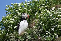 Papageitaucher, Papageientaucher, mit erbeuteten Fischchen im Schnabel, Papagei-Taucher, Fratercula arctica, Atlantic puffin, Vogelfels, Vogelfelsen
