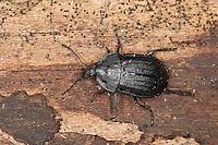 Schwarzer Schneckenjäger, Schwarzer Aaskäfer, Schwarzglänzender Aaskäfer, Schneckenaaskäfer, Schnecken-Aaskäfer, Phosphuga atrata, Silpha atrata