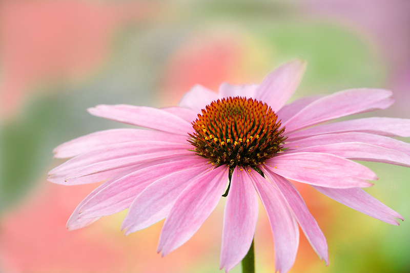 Purple Coneflower (Echinacea purpurea). Oregon