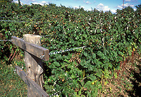 Raspberries fruit bushes growing on farm garden, trained between wire trellis staking