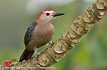 Golden-fronted woodpecker (Melanerpes aurifons), Cayo district, Belize