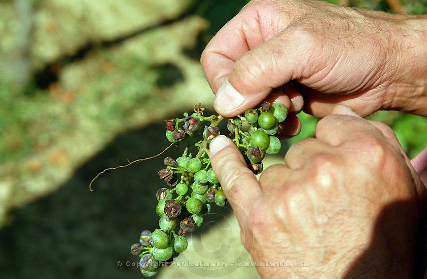 Vine damaged by hail, grapes burst chateau de castelnau entre deux mers bordeaux france