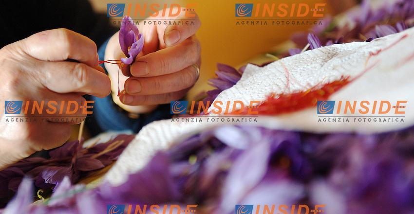 Sfioritura del crocus sativus dai cui pistilli o stigmi si ricava lo zafferano..Lo zafferano di Navelli è un prodotto DOP (Denominazione di Origine Protetta)..23/10/2012 Navelli.Foto Antonietta Baldassarre / Insidefoto ..30 Kilometres from the city L'Aquila (Abruzzo, Italy) lies the elevated plain of Navelli which is renowned internationally for its cultivation of world class saffron.The tradition of cultivating saffron in Navelli, alive since the 13th century. Saffron is produced from the stigma of the crocus flower.