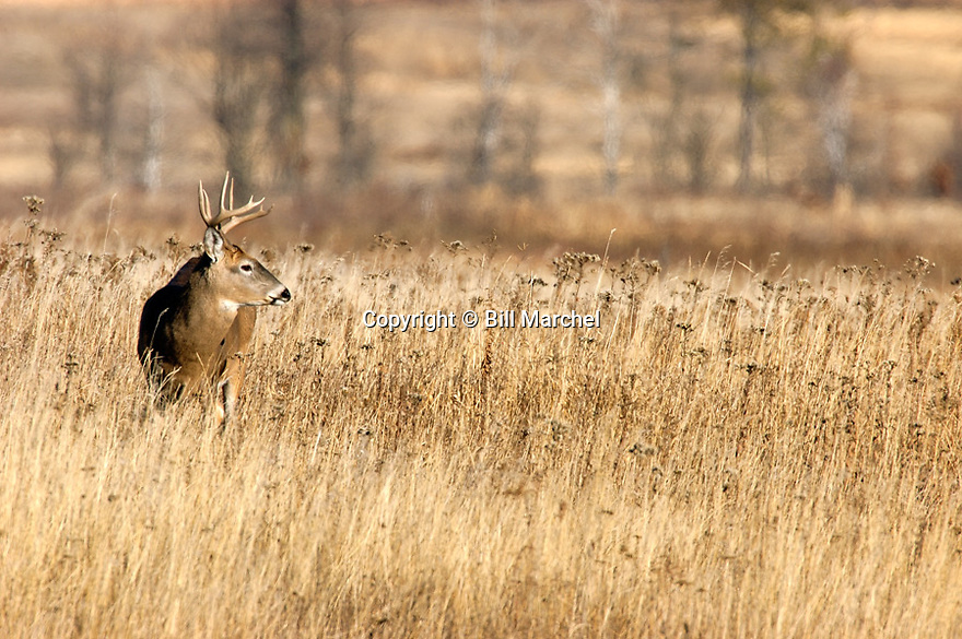 00274-303.12 White-tailed Deer Buck (Digital) with 10 pt. antlers is in large meadow during during fall.  H3F1