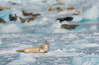 Harbor seal hauled out on icebergs, western Prince William Sound, Alaska.