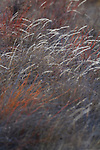 wild grasses on Santiago Island in the Galapagos National Park, Galapagos, Ecuador, South America