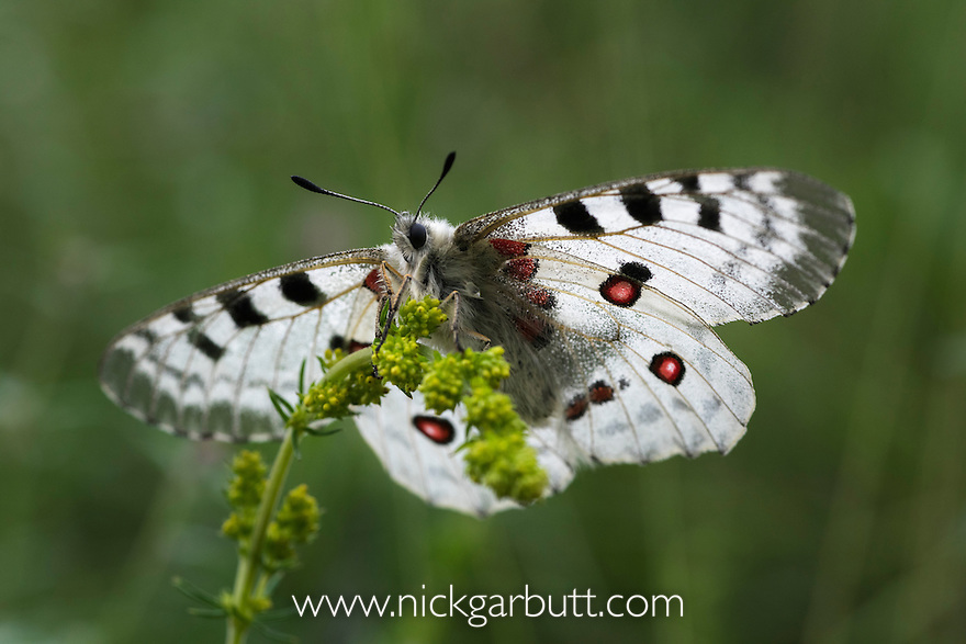 Apollo butterfly (Parnassius apollo). Nordtirol, Austrian Alps, Austria, July.