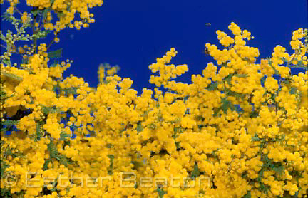 West Wyalong Wattle (Acacia ) in full blossom with bees. near West Wyalong, New South Wales
