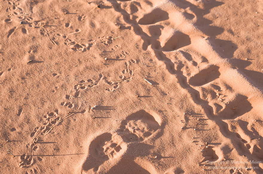 Coral Pink Sand Dunes State Park, Kanab, Utah; Ord's Kangaroo Rat (Dipodomys ordii) tracks, tire tracks from off-highway vehicles (OHV) and a human footprint come together in the sand, showing the many uses and inhabitants of the Coral Pink Sand Dunes State Park