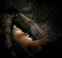 Cougar Sleeping in a Tree Trunk
