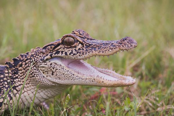 American Alligator (Alligator mississipiensis), Sinton, Corpus Christi, Coastal Bend, Texas, USA
