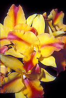 Orchid cattleya hybrid in splash petal peloric flowers of yellow and red