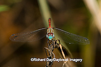 06652-006.18 Blue-faced Meadowhawk (Sympetrum ambiguum) male, Marion Co. IL