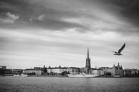 Riddarfjärden med flygande fiskmås över  Riddarholmen i Stockholm i svartvitt.