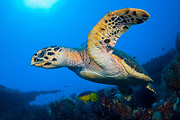 hawksbill sea turtle, Eretmochelys imbricata feeding on sponges on the shipwreck of the MIspah offshore Singer Island, Florida, USA, Caribbean Sea, Atlantic Ocean, Spanish hogfish Bodianus rufus follow the turtle picking up leftovers, endangered species