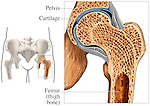 Accurate depiction of the pelvic region anatomy with a section through a normal, healthy hip joint showing the femur (thigh bone) articulating with the acetabulum of the pelvis. The articular cartilages of the joint are highlighted in blue for easy identification and the associated anatomical structures such as the ligament of head of femur, fibrous capsule, and zona orbicularis are also visualized.